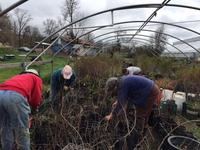 Tending plants destined for restoration projects