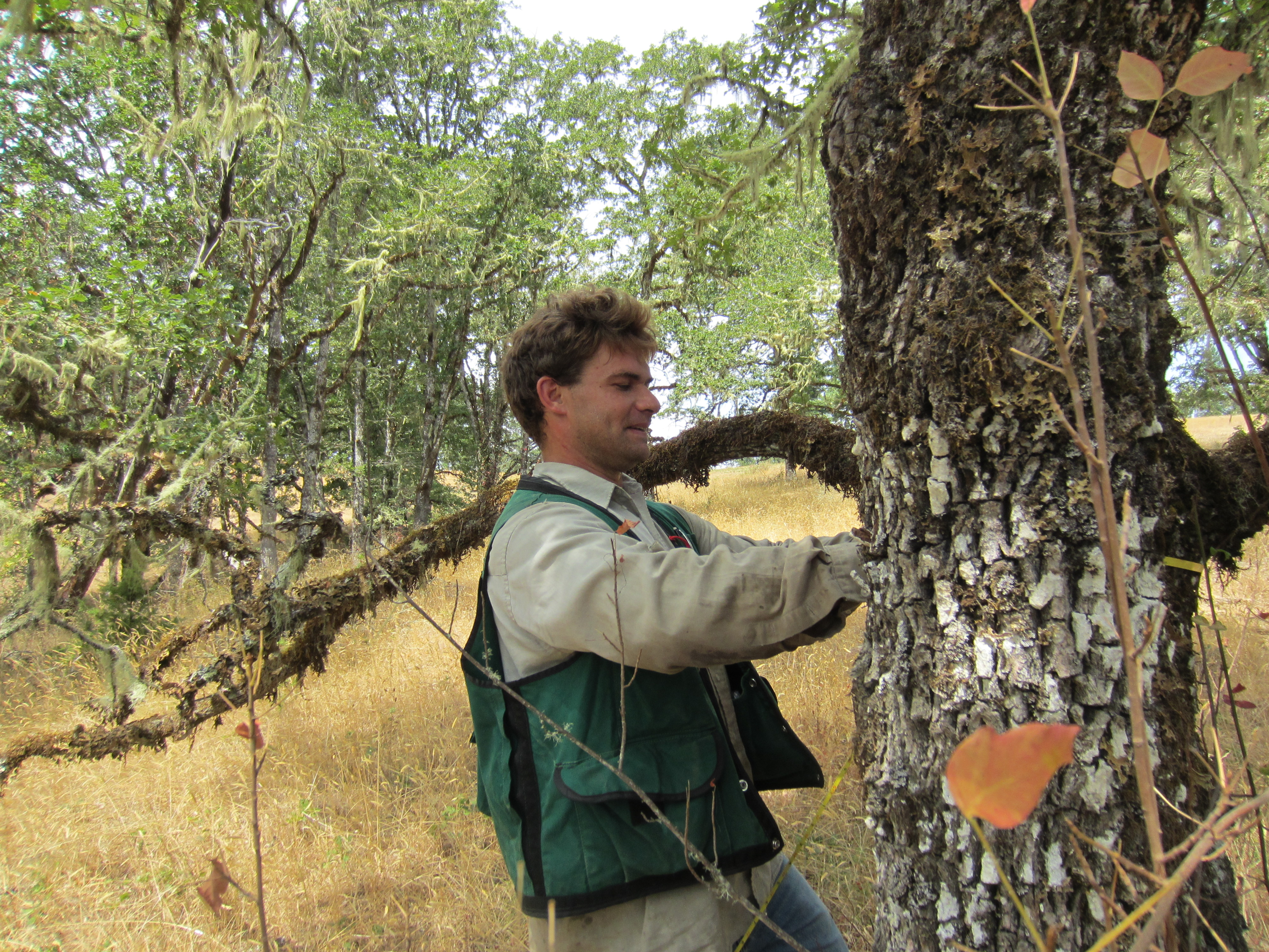 Lomakatsi Forest Technician Ryan Puckett measuring the circumference of a white oak in Douglas County, to be protected in the Central Umpqua-Mid-Klamath Oak Habitat Conservation Project (CCPI)