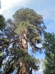Legacy Ponderosa Pine in the Ashland Forest Watershed