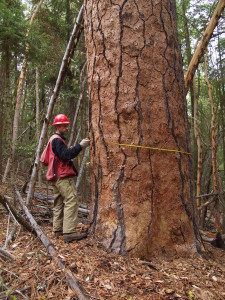 "Lomakatsi Forestry Technician Jeff Harrison measures the diameter of a ""Legacy"" ponderosa pine to be protected in the Ashland Forest Resiliency Project."