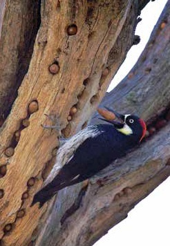Acorn Woodpecker by Jon Goulden, 2013 State of the Birds report, p. 21