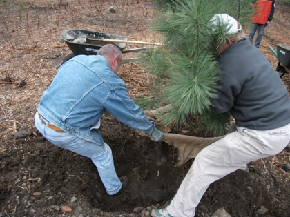 Volunteers planting a large Ponderosa Pine for the Ashland Creek Pond Riparian Restoration Project