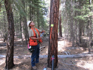 A Klamath Tribes Forestry Technician doing stem mapping, working with Lomakatsi on a forest history reconstruction study plot in the Fremont-Winema National Forest.