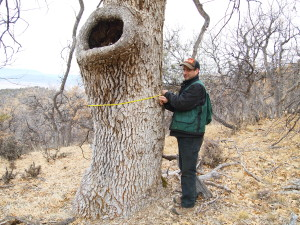 """""""Legacy"""" Oak measured and marked for protectin in a 40 acre project on the Cascott River Ranch, Scott River Valley, Siskiyou County, CA, With Aaron Nauth, Lomakatsi's Contracting and Workforce Division Supervisor"""