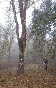 By removing encroaching conifers, these restoration treatments aim to create resilient oak woodlands.