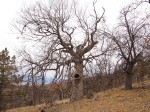 """Legacy"" Oak measured and marked for protectin in a 40 acre project on the Cascott River Ranch, Scott River Valley, Siskiyou County, CA,"