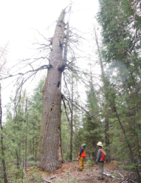 Lead Forestry Technician for the Klamath Tribes and Lomakatsi Forestry Technician strategize for the protection of snags, such as this white fir, during operations in the Fremont-Winema National Forest.