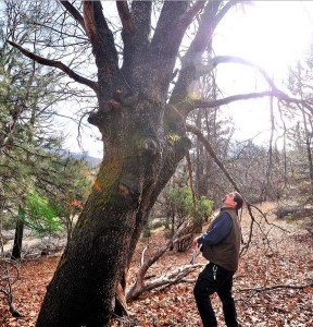 Marko Bey, executive Director of Lomakatsi, checks out a large oak tree in the Colestin Valley. Mail Tribune, Jamie Lusch, 1-16-15