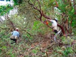 Siskiyou Mtn Park, reducing dense manzanita fuel loading in white oak habitat, 6-21-13