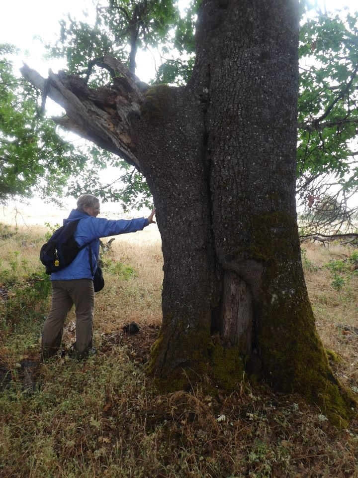 Terry Fairbanks from the BLM examines fire scars on legacy - old growth - Black Oak, at Upper Table Rock, 6-27-13