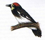 Woodpecker drawing, acorn w, 3,2x2,9, 72